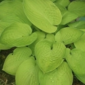 Picture of Hosta Kiwi Sunshine
