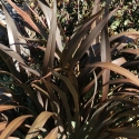 Picture of Phormium C Purpurea