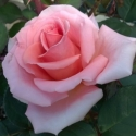 Picture of Wonder Royal City Rose Std 80cm-Rose