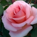 Picture of Wonder Royal City Rose-Rose