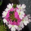 Picture of Verbena Rose White