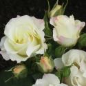 Picture of Pavlova Std 80cm-Rose