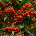 Picture of Pyracantha Brilliant Std