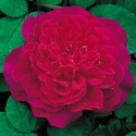 Picture of Sophy's Rose-Rose
