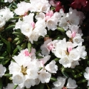 Picture of Rhododendron Yakushimanum Dwf