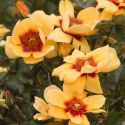 Picture of Sweet Spot Yellow-Rose