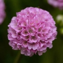 Picture of Armeria Sweet Dreams