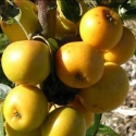 Picture of Malus Crabapple Arrow Gold H/W 1.5m