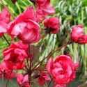 Picture of Malus Crabapple Barbara Ann H/W 1.5M