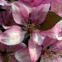 Picture of Malus Crabapple Strathmore H/W 1.5m