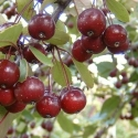 Picture of Malus Crabapple Echtermeyer H/W 1.7m