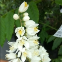Picture of Philadelphus Virginalus X