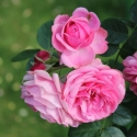 Picture of Leonardo da Vinci Std 90cm-Rose