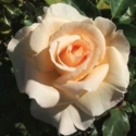 Picture of Morning Light Clg-Rose