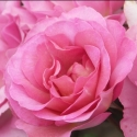 Picture of Pacific Glory Std 80cm-Rose