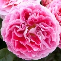 Picture of Akaroa Std 80 cm-Rose