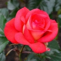Picture of Fireball Std 45cm-Rose