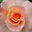 Picture of Apricot Delight-Rose