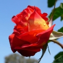 Picture of Lydia Clg-Rose