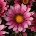 Picture of Gazania New Day Pink Shades