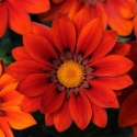 Picture of Gazania New Day Red Shades