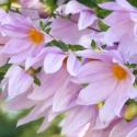 Picture of Dahlia Imperialus