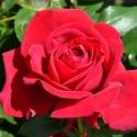 Picture of Wedding Celebration-Rose