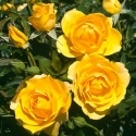 Picture of Gold Reef-Rose