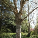 Picture of Betula Jermyns