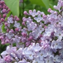 Picture of Syringa Pats Lilac