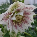 Picture of Helleborus Cinderella