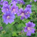 Picture of Geranium Johnsons Blue