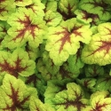 Picture of Heucherella Stoplight