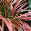 Picture of Phormium Pixie