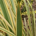 Picture of Phormium Waitara Gold