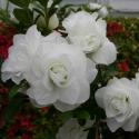 Picture of Azalea Brides Bouquet