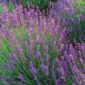 Picture of Lavender Violet Intrigue