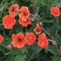 Picture of Geum Rustico Orange