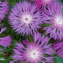 Picture of Centaurea Dealbata