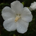 Picture of Hibiscus Snowdrift STD