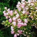 Picture of Escallonia Apple Blossom