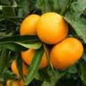 Picture of Mandarin Thorny Std