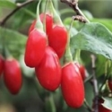 Picture of Goji Berry Shanghi Express
