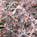 Picture of Corokia Frosted Chocolate Std