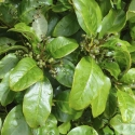 Picture of Coprosma Robusta