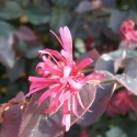 Picture of Loropetalum Zar De Doo Std