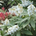 Picture of Pieris Sarabande