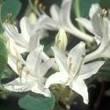 Picture of Azalea Snowbird