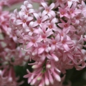 Picture of Syringa Bellicent
