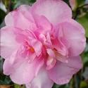 Picture of Camellia Jennifer Susan